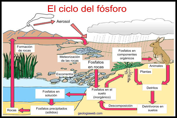 Ciclo Del Fósforo Características Etapas Importancia